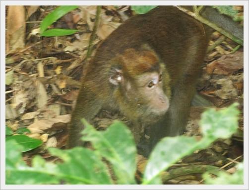 Mono de Sabang, Filipinas