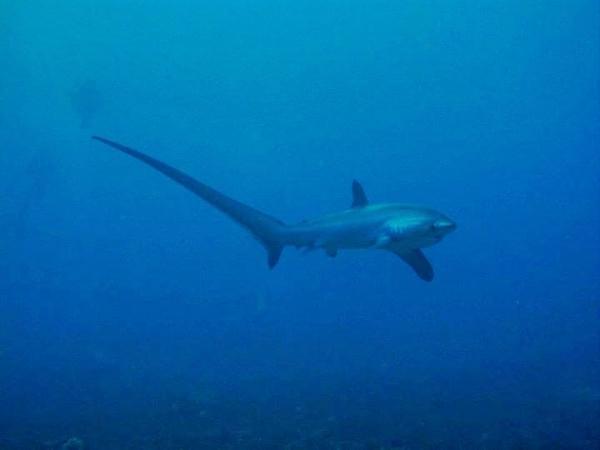 thresher sharks, tiburón zorro