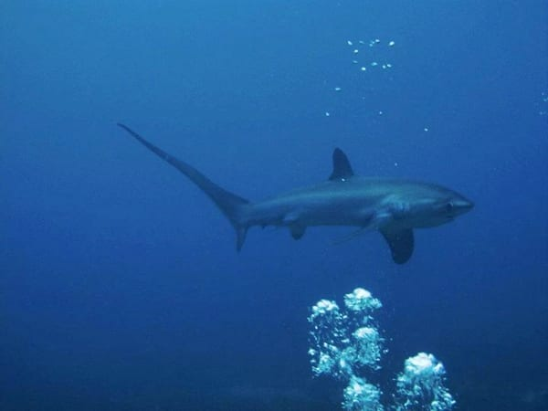 thresher sharks, tiburón zorro