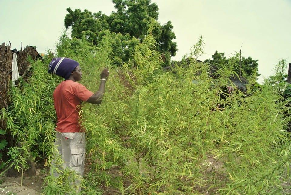 Plantación de marihuana en la Isla de Ginak, Gambia