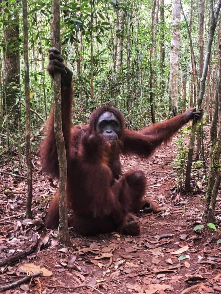 Borneo_orangutanes