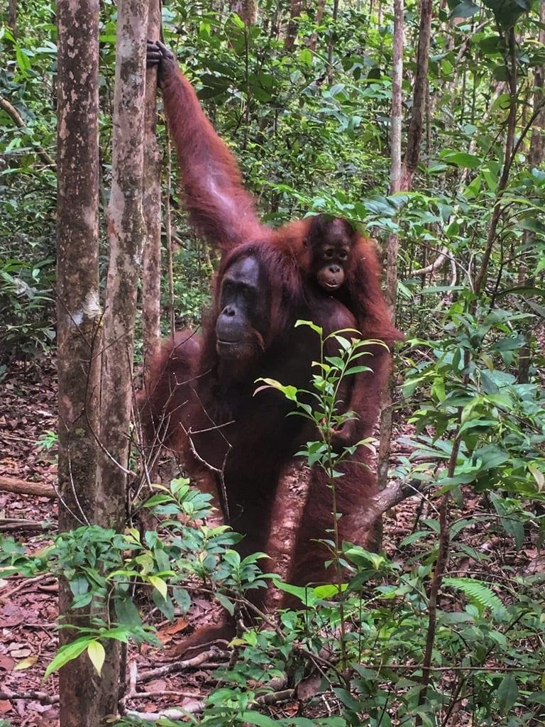 orangután_rojo_borneo