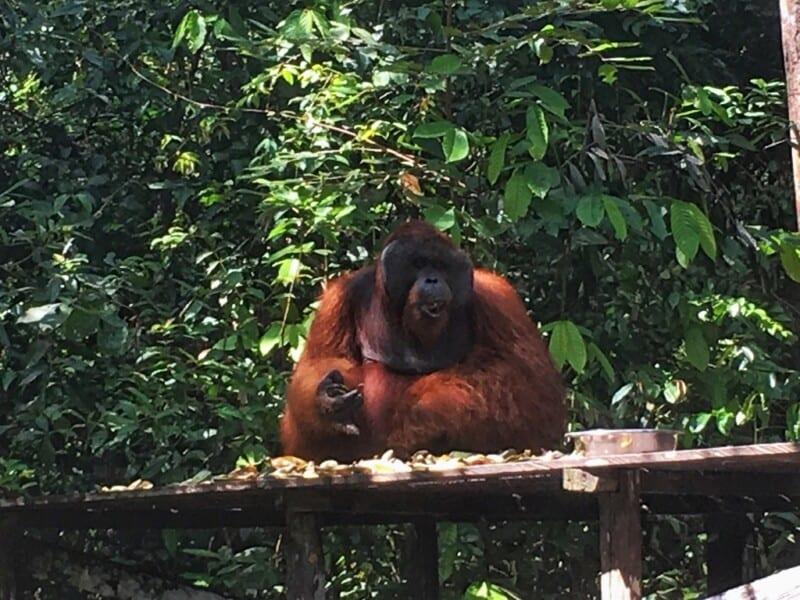 orangutanes_borneo