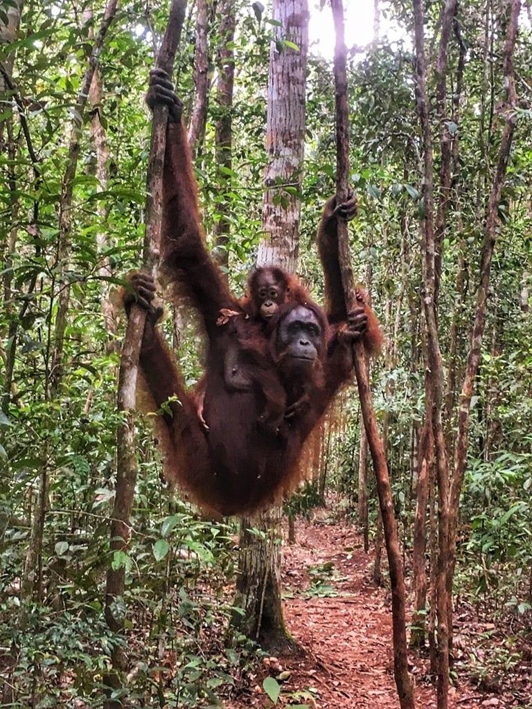 orangutanes_selva_borneo
